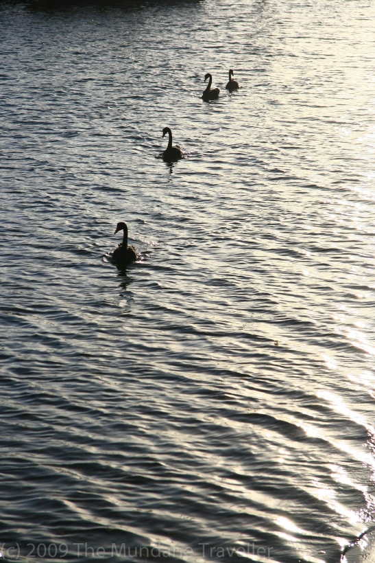 Black Swans – parading for their entry into economic theory